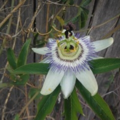 Passiflora caerulea (Blue Passionflower) at Griffith Woodland - 16 Nov 2018 by ianandlibby1