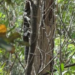 Varanus varius (Lace Monitor) at McDonald State Forest - 19 Nov 2018 by Stewart