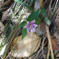 Schelhammera undulata (Lilac Lily) at McDonald State Forest - 19 Nov 2018 by Stewart