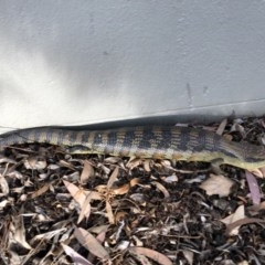 Tiliqua scincoides (Eastern Blue-tongue) at Canberra, ACT - 19 Nov 2018 by AaronClausen