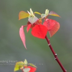 Homalanthus populifolius (Bleeding Heart) at One Track For All - 14 Nov 2018 by Charles Dove