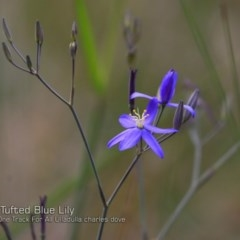 Thelionema caespitosum (Tufted Blue Lily) at One Track For All - 14 Nov 2018 by CharlesDove