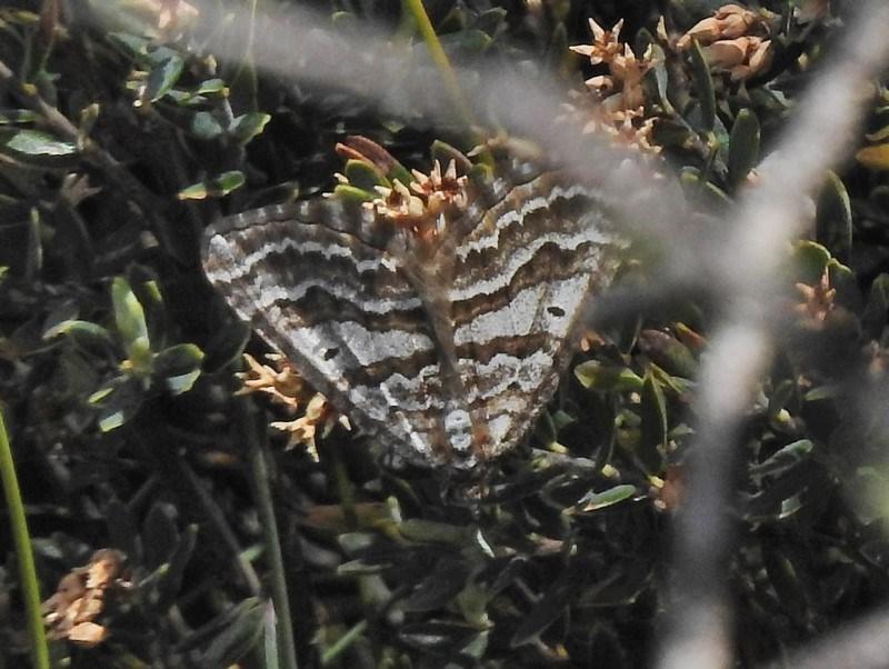Chrysolarentia nephodes at Namadgi National Park - 19 Nov 2018
