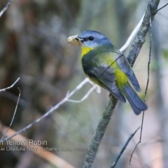 Eopsaltria australis (Eastern Yellow Robin) at One Track For All - 13 Nov 2018 by CharlesDove