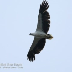 Haliaeetus leucogaster (White-bellied Sea-eagle) at One Track For All - 13 Nov 2018 by Charles Dove