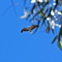 Haliaeetus leucogaster (White-bellied Sea-Eagle) at Tidbinbilla Nature Reserve - 19 Nov 2018 by RodDeb
