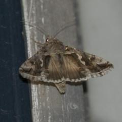 Chrysodeixis argentifera (Tobacco looper) at Higgins, ACT - 12 Sep 2018 by Alison Milton