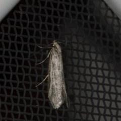 Philobota sp. (genus) (Unidentified Philobota genus moths) at Higgins, ACT - 12 Sep 2018 by Alison Milton