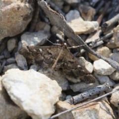 Nacoleia rhoeoalis (A Pyralid Moth) at Illilanga & Baroona - 11 Nov 2018 by Illilanga