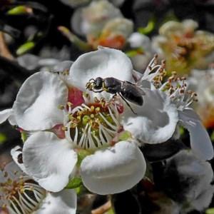 Hylaeus (Gnathoprosopoides) bituberculatus at Brogo, NSW - 20 Nov 2018