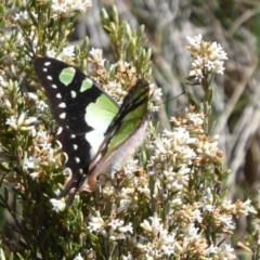 Graphium macleayanum at Bimberi Nature Reserve - 19 Nov 2018