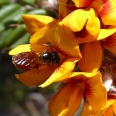 Exoneura sp. (genus) (A reed bee) at Namadgi National Park - 18 Nov 2018 by Christine