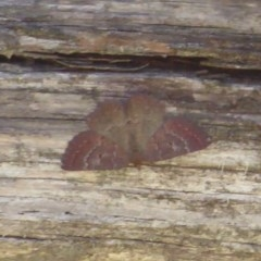 Scopula rubraria (Reddish Wave) at Namadgi National Park - 19 Nov 2018 by Christine