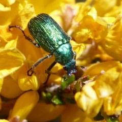 Diphucephala sp. (genus) (Green Scarab Beetle) at Namadgi National Park - 19 Nov 2018 by Christine