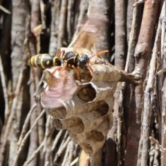 Polistes (Polistes) chinensis (Asian paper wasp) at Jerrabomberra Wetlands - 20 Nov 2018 by RodDeb