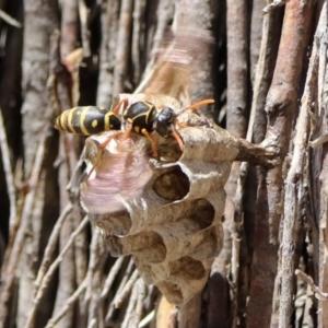 Polistes (Polistes) chinensis at Jerrabomberra Wetlands - 20 Nov 2018