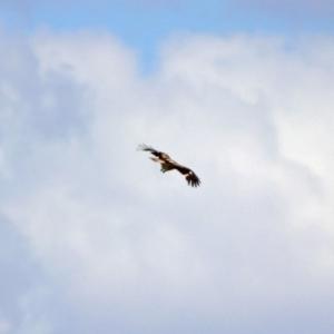 Haliastur sphenurus at Jerrabomberra Wetlands - 20 Nov 2018