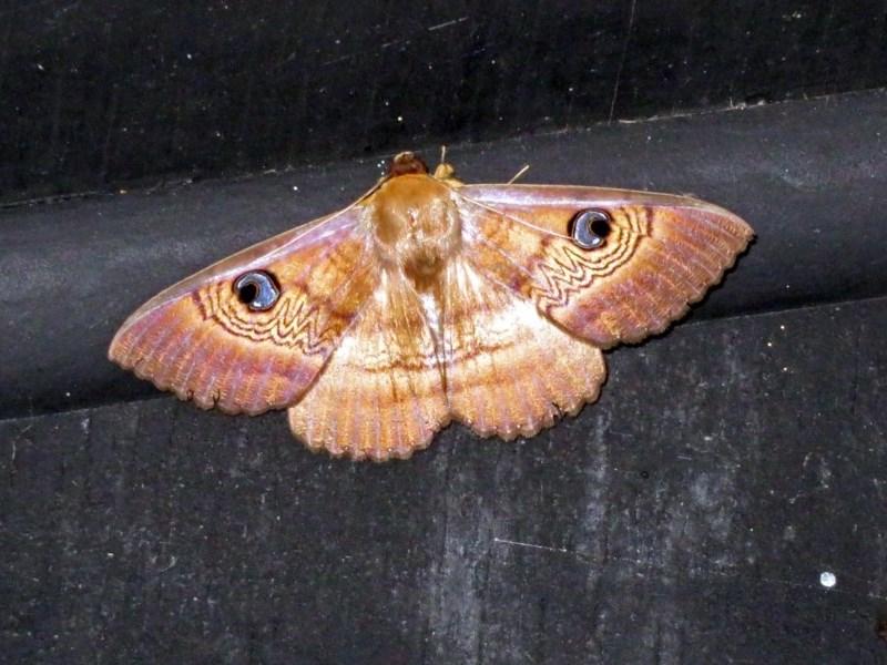 Dasypodia selenophora at Jerrabomberra Wetlands - 20 Nov 2018