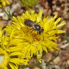 Lasioglossum (Chilalictus) sp. (genus & subgenus) (Halictid bee) at Sth Tablelands Ecosystem Park - 14 Nov 2018 by galah681