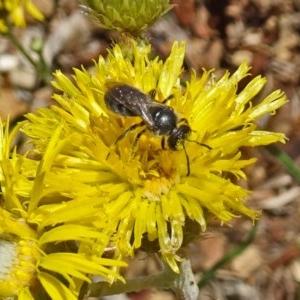 Lasioglossum (Chilalictus) sp. (genus & subgenus) at Sth Tablelands Ecosystem Park - 15 Nov 2018