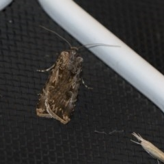 Agrotis munda (Brown Cutworm) at Higgins, ACT - 30 Oct 2018 by Alison Milton