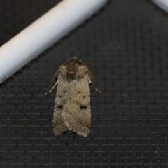 Agrotis porphyricollis (Variable Cutworm) at Higgins, ACT - 30 Oct 2018 by Alison Milton