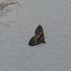 Phrissogonus laticostata (Apple looper moth) at Higgins, ACT - 30 Oct 2018 by Alison Milton