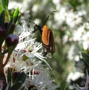 Porrostoma sp. (genus) at Sth Tablelands Ecosystem Park - 30 Nov 2017