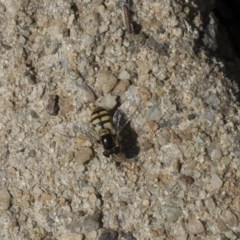 Simosyrphus grandicornis (Common hover fly) at Higgins, ACT - 27 Oct 2018 by Alison Milton