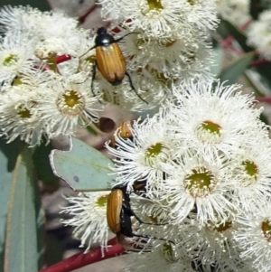 Phyllotocus rufipennis at Sth Tablelands Ecosystem Park - 30 Nov 2017