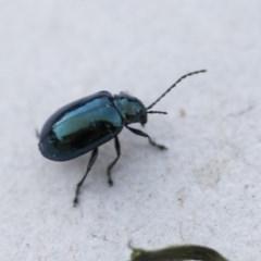 Altica sp. (genus) (Flea beetle) at Higgins, ACT - 31 Oct 2018 by Alison Milton