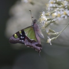 Graphium macleayanum (Macleay's Swallowtail) at ANBG - 1 Nov 2018 by Alison Milton