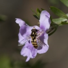 Simosyrphus grandicornis (Common hover fly) at ANBG - 1 Nov 2018 by Alison Milton