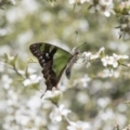 Graphium macleayanum at ANBG - 4 Nov 2018