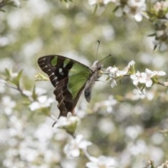 Graphium macleayanum (Macleay's Swallowtail) at ANBG - 4 Nov 2018 by Alison Milton