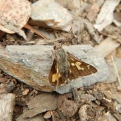 Trapezites phigalioides (Montane Ochre) at Aranda Bushland - 20 Nov 2018 by CathB