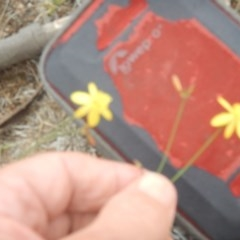 Tricoryne elatior (Yellow Rush Lily) at Farrer Ridge - 21 Nov 2018 by MichaelMulvaney