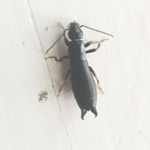 Anisolabididae (family) at Hughes Garran Woodland - 20 Nov 2018
