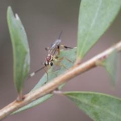 Ichneumonidae sp. (family) (Unidentified ichneumon wasp) at Higgins, ACT - 5 Nov 2018 by Alison Milton