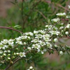 Leptospermum obovatum (River Tea Tree) at Isaacs Ridge and Nearby - 21 Nov 2018 by Mike