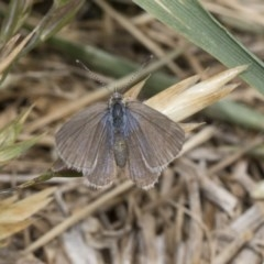 Zizina otis (Common Grass-blue) at Higgins, ACT - 6 Nov 2018 by Alison Milton