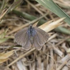 Zizina otis (Common Grass-blue) at Higgins, ACT - 6 Nov 2018 by Alison Milton