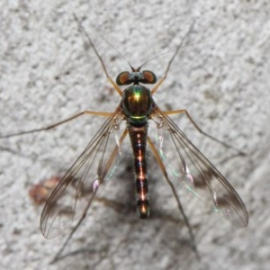 Heteropsilopus sp. (genus) at ANBG - 21 Nov 2018