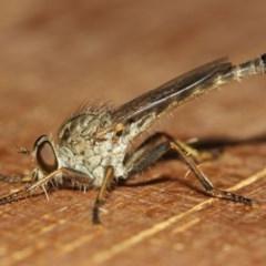 Cerdistus sp. (genus) (Robber fly) at Evatt, ACT - 20 Nov 2018 by Tim L