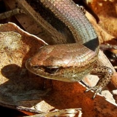 Lampropholis delicata (Dark-flecked Garden Sunskink) at Brogo, NSW - 18 Nov 2018 by MaxCampbell