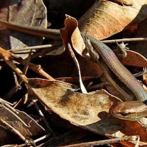 Lampropholis delicata at Brogo, NSW - 19 Nov 2018