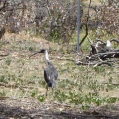 Threskiornis spinicollis (Straw-necked Ibis) at Red Hill Nature Reserve - 20 Nov 2018 by JackyF