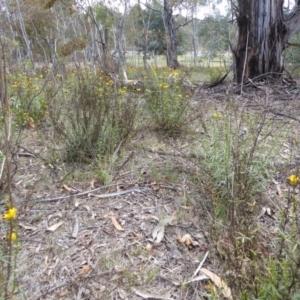 Xerochrysum viscosum at Hughes Grassy Woodland - 22 Nov 2018
