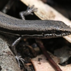 Morethia boulengeri (Boulenger's Skink) at Mount Ainslie - 21 Nov 2018 by jbromilow50