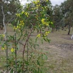Acacia pycnantha at Sth Tablelands Ecosystem Park - 4 Oct 2018